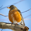 Blue Skies with Robin in Winter