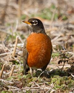 Robin in Winter Field in Olney