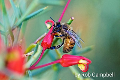 Bee and Grevillea