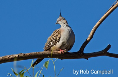 Crested Pigeon.