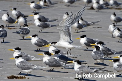 Crested Terns.