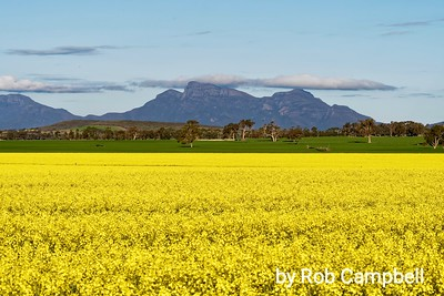 Canola Fields.