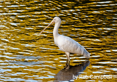 Yellow-billed Spoonbill.