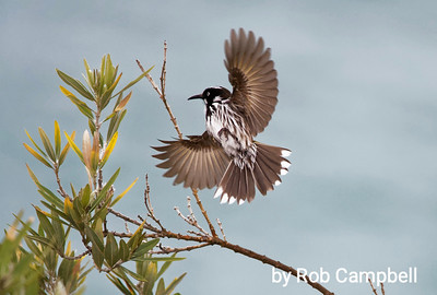 New Holland Honey Eater.