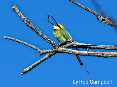 Rainbow bee eater with cicada.