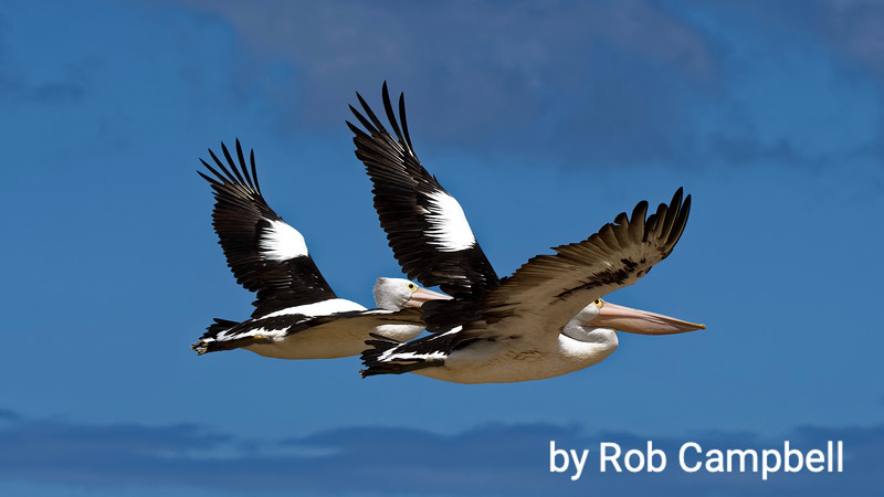 Pelicans flying in synchrony.