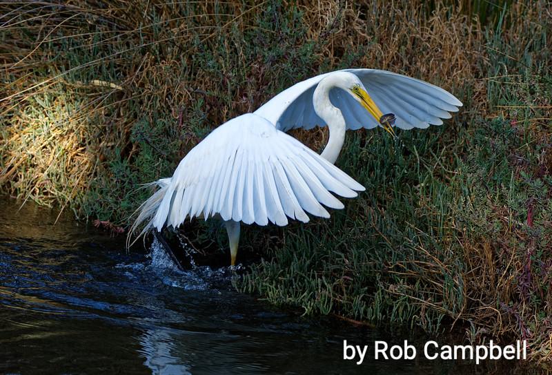 Egret catching mud minnow fish (glaxiella). Swan River, Perth, Western Australia.
