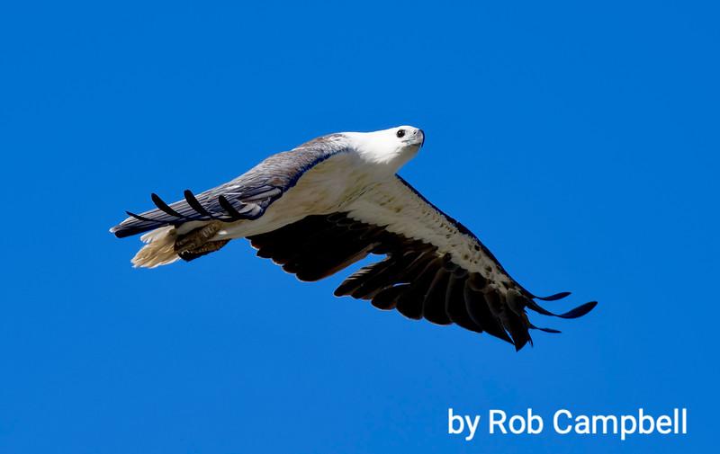 Australian Sea Eagle. Parry Beach, south coast, Western Australia.