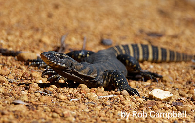 Gould's Monitor lizard. Warren River National Park, near Pemberton, south west Western Australia.