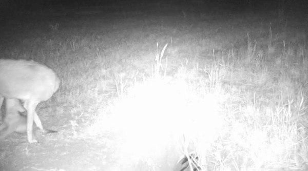 Video of adult female coyote with pups at a den in Aurora, CO.