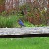 Bluebird at Kendall