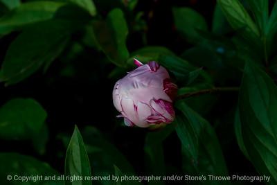 015-flower_peony-ankeny-31may21-12x08-008-400-2375