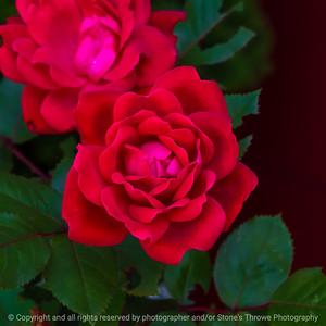 015-flower_rose-ankeny-31may21-09x09-006-400-2138