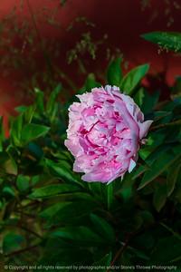 015-flower_peony-ankeny-31may21-08x12-008-400-2351