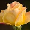 Rose Fest 2011