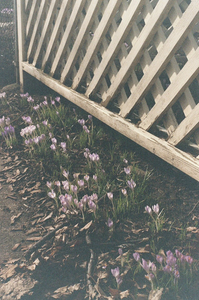 Crocuses on Cypress Street