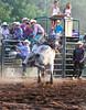 Lying Down on the Job - Rock Bottom Bull Riding - Photo by Pat Bonish