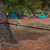 Kookaburra sits on the old slackline