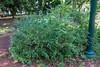 Polygala myrtifolia var. grandiflora