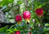 Hibiscus spec