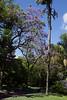 Jacaranda ovalifolia