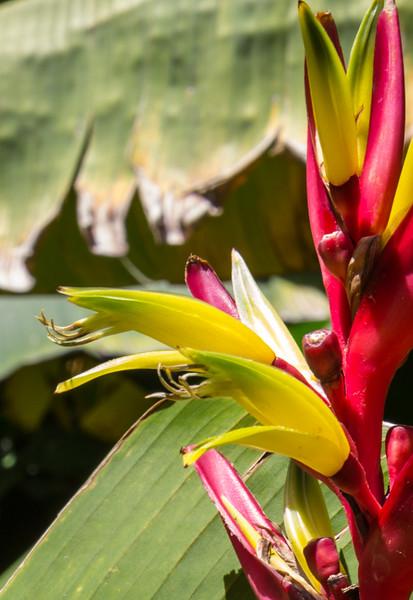 Heliconia subulata