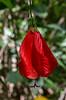 Malvaviscus arboteus