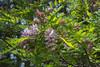 Robinia pseudoacacia Purple