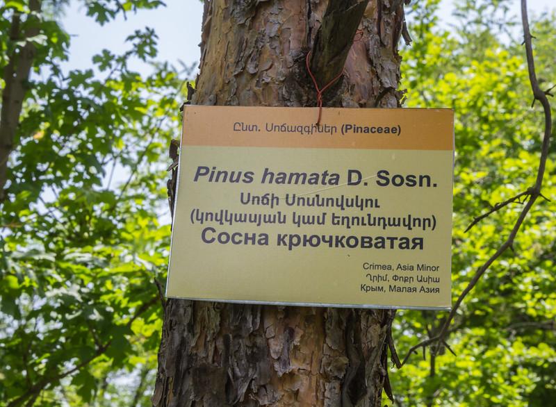Pinus hamata