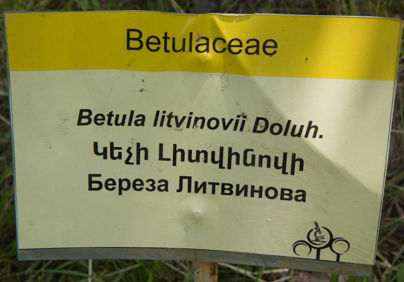 Betula litvinovii