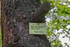 Trunk of Pinus kochiana