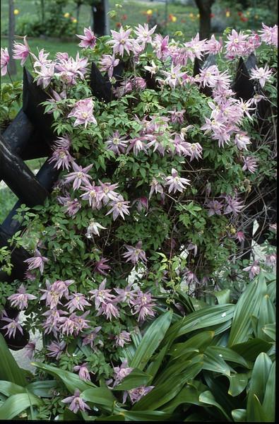Clematis macropetala (Garden of Franz Hadacek, Vienna)