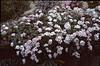 Androsace villosa (Garden of Franz Hadacek, Vienna)
