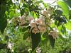 vercors mei 2005 010_dipelta floribunda