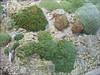 Saxifrage and Dionysia collection, Botanische Garten, Julius von Sachs Institut, Wurzburg