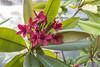 Plumeria rubra, cv