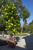 "Allamanda cathartica cv ""Grandiflora"""