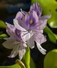 Euchhornia crassipes