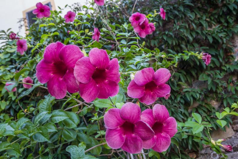 Allamanda violaceae