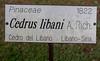 Cedrus Libani