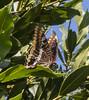 Charaxes jasius ssp. jasius