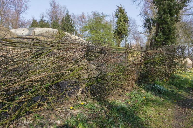 Hedge laying hedge
