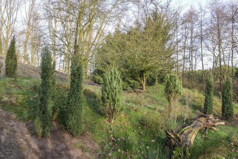 Planting different shapes of Juniperus communis shrubs