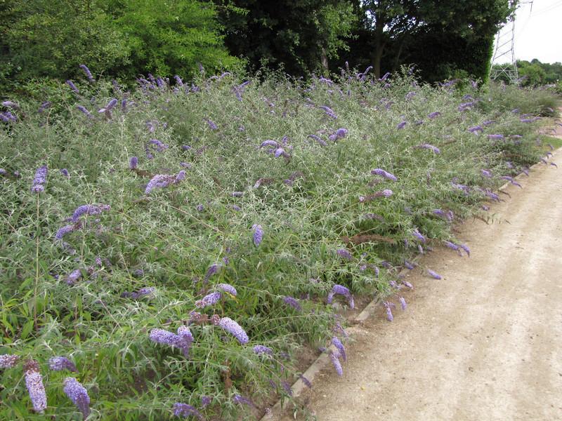 shrubs of Buddleia spec. NL:vlinderstruik, Eco park Eindhoven, Acht
