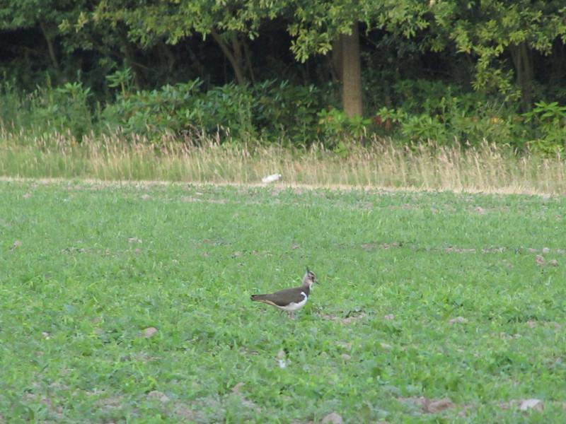 Vanellus vanellus, Lapwing, NL: kievit, Eco park Eindhoven, Acht  29-6-2010