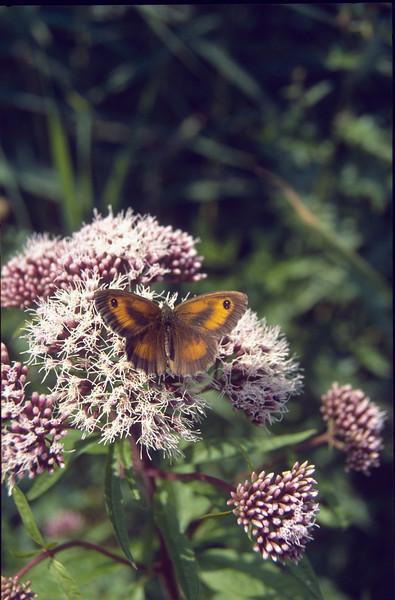 Pyronia tithonus on Eupatorium cannabinum (Gatekeeper, NL: Oranje zandoogje op koninginnekruid)july/august 1998