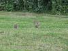 rabbits, Eco park Eindhoven, Acht