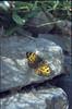 Lasiommata megera (Wall brown, NL: Argusvlinder)