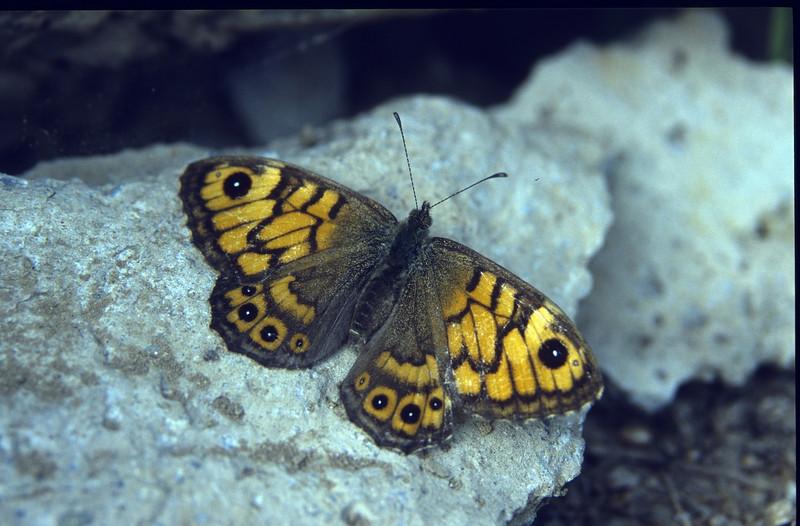 Lasiommata megera (Wall brown, NL: Argusvlinder, stone talud ECO park)