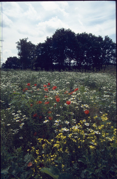 meadow with pioneer plants (Papaver rhoeas)